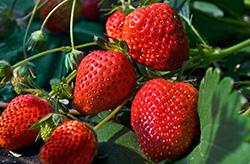 栽培されたイチゴ